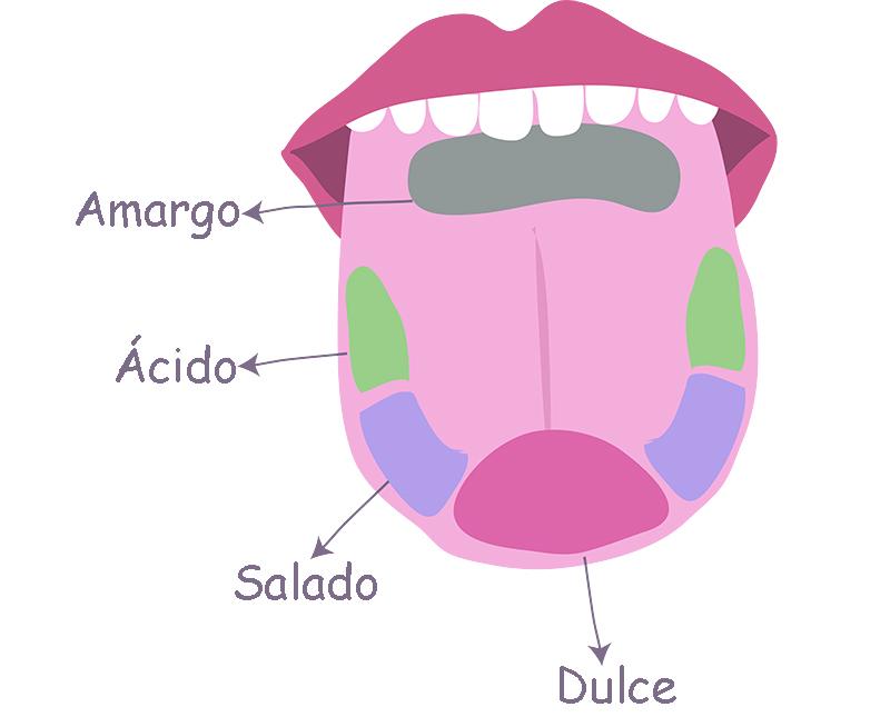 Cómo percibe los sabores tu lengua? | Hoy Saludable